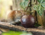 Bank vole by Sarah Darnell Runner-up in the A Brief Encounter category. 'I have been joined by one brave little vole, who I have nicknamed Little Jack Horner, who is now bold enough to sit in the corner of my hide space and tuck into a fresh plum or two.'