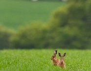Brown hares by Martin Clay Highly commended in the Mammals in our Landscapes category.
