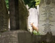 Richard Bowler Runner-up in the Mammals in our Landscapes category. An urban red fox living in a cemetery in the UK.